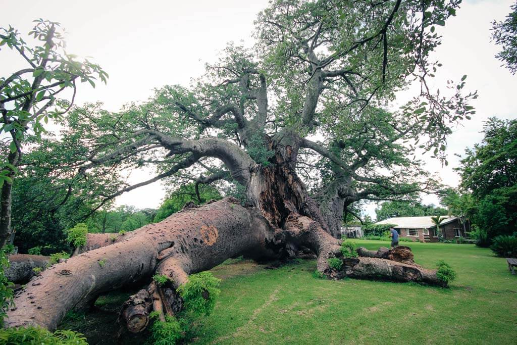 The Sunland Big Baobab Tree - Pub Inside A Tree