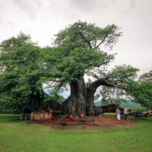 The Sunland Big Baobab Tree - Pub Inside A Tree