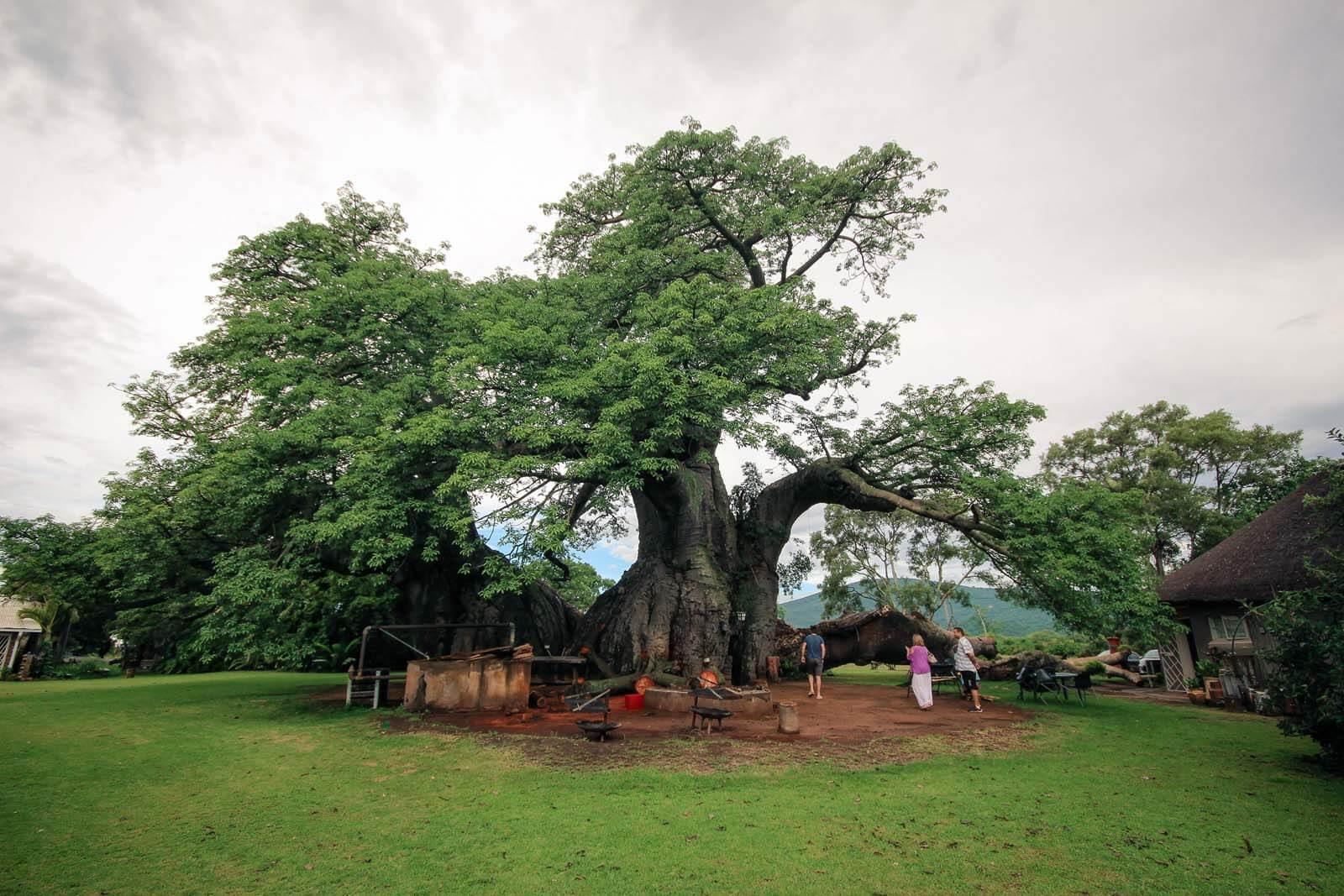 A Pub Inside A Tree – The Sunland Big Baobab