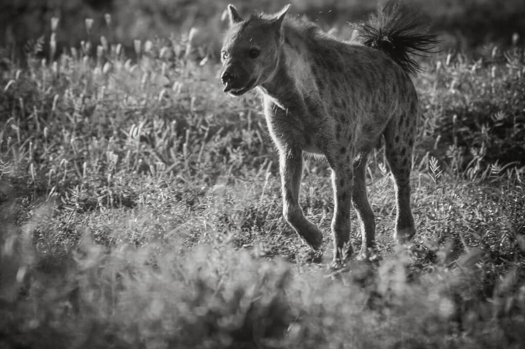 Hyena Chase - Kruger Park