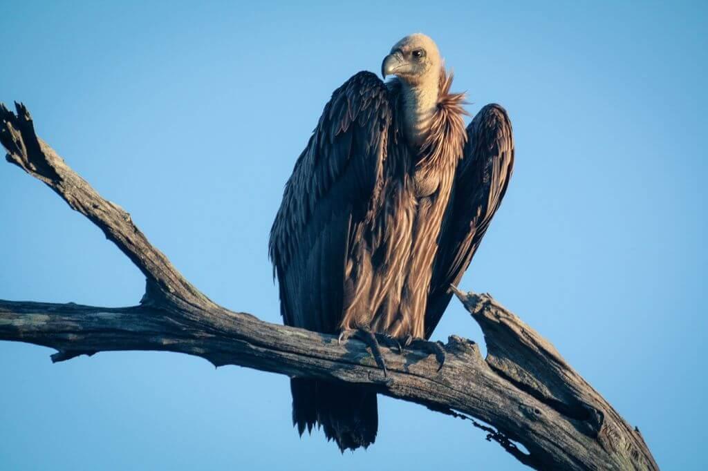 Vulture - Kruger Park