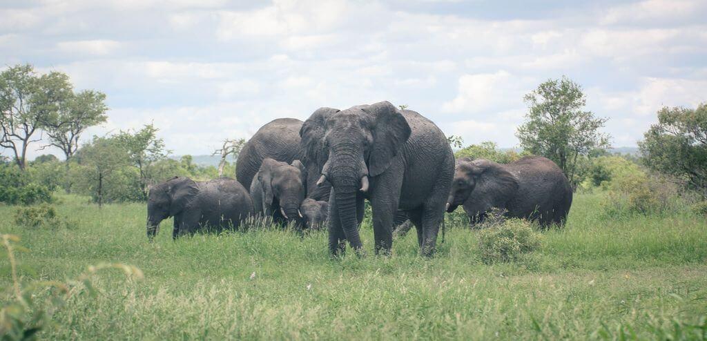 Elephant - Kruger Park