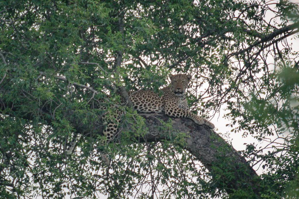 Leopard - Kruger Park
