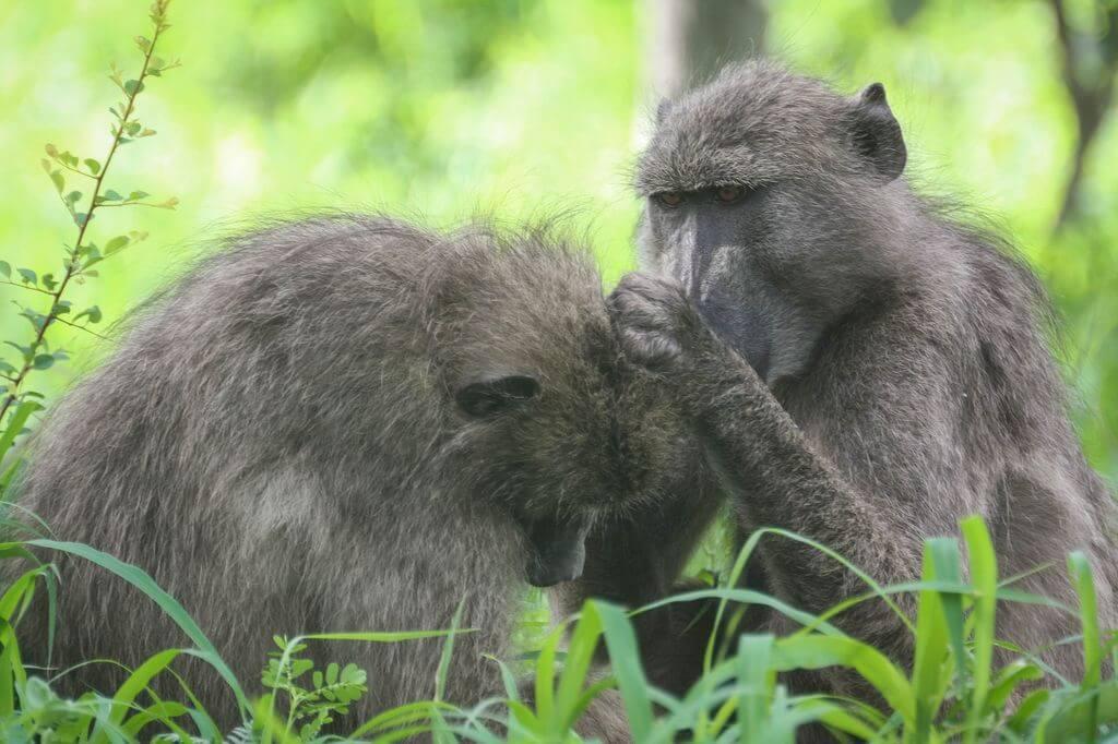 Monkeys - Kruger Park