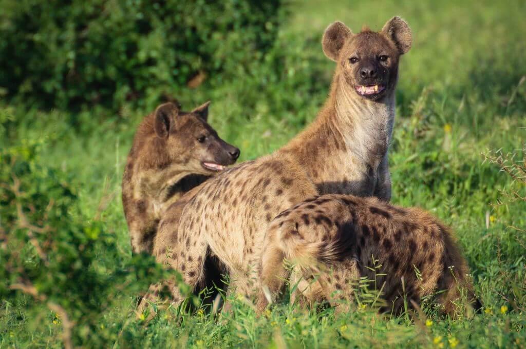 Hyena - Kruger Park
