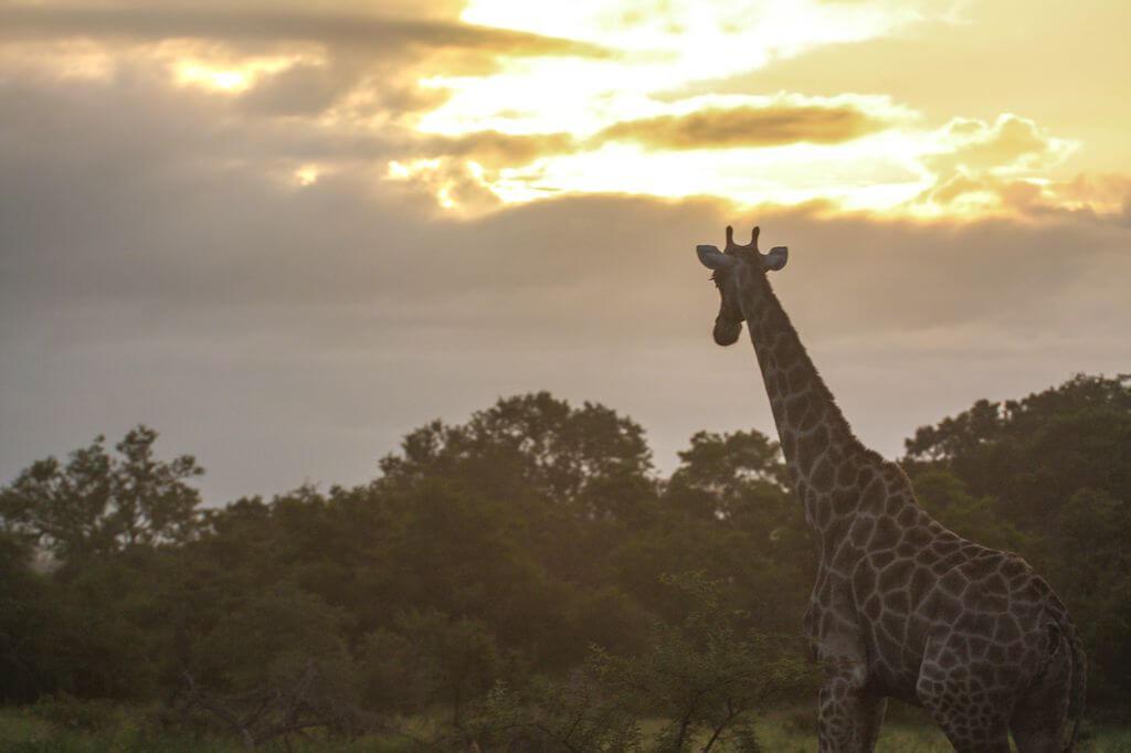 Giraffe Kruger Park