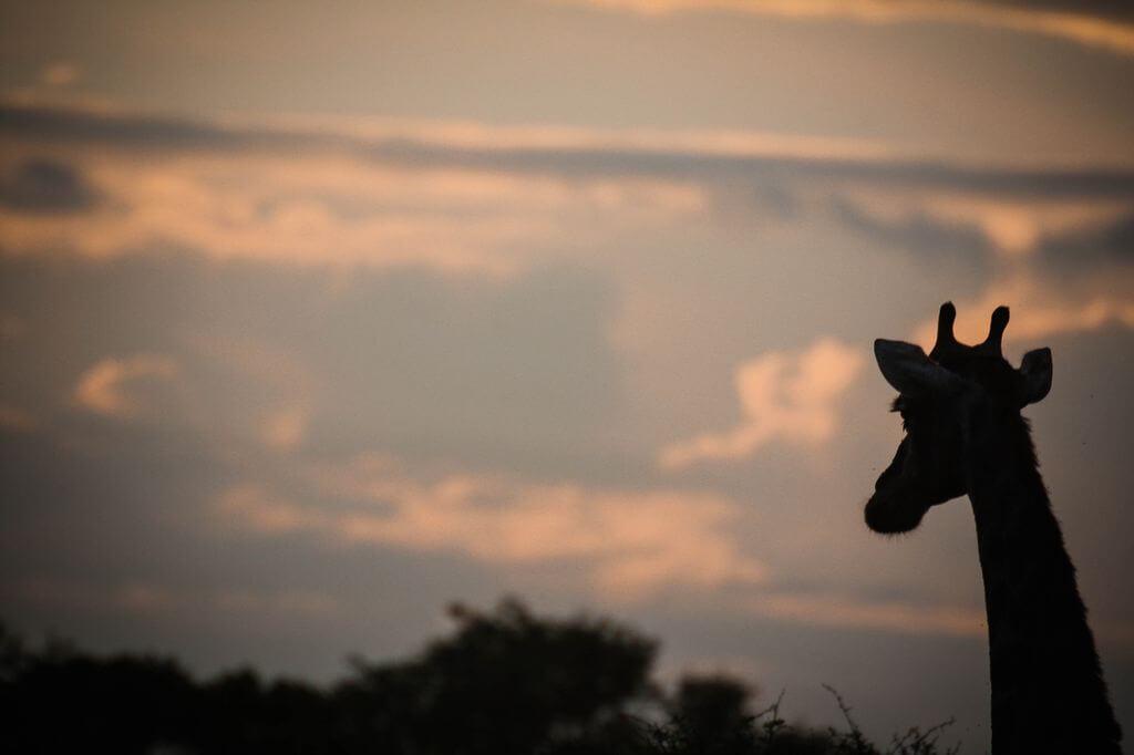 Giraffe - Kruger Park