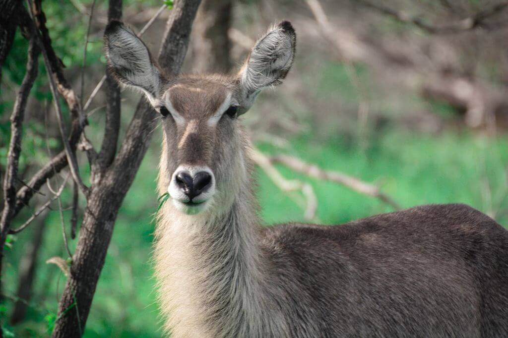 Waterbuck - Kruger Park