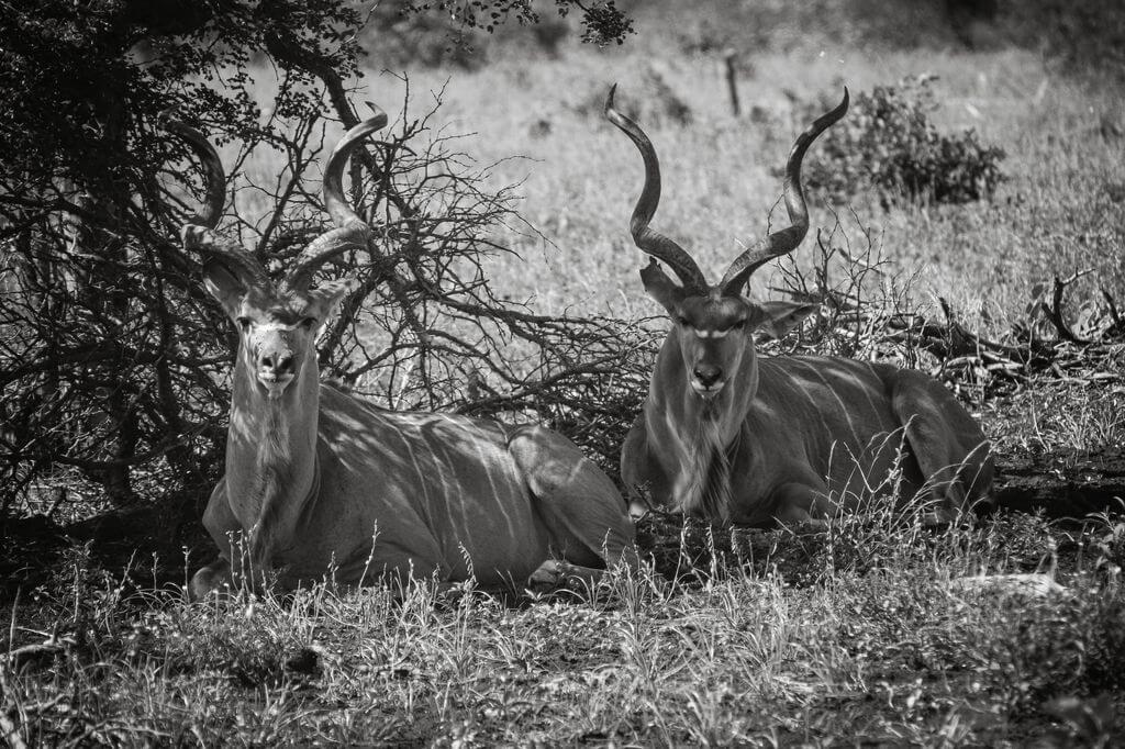 Kudu Kruger National Game Reserve